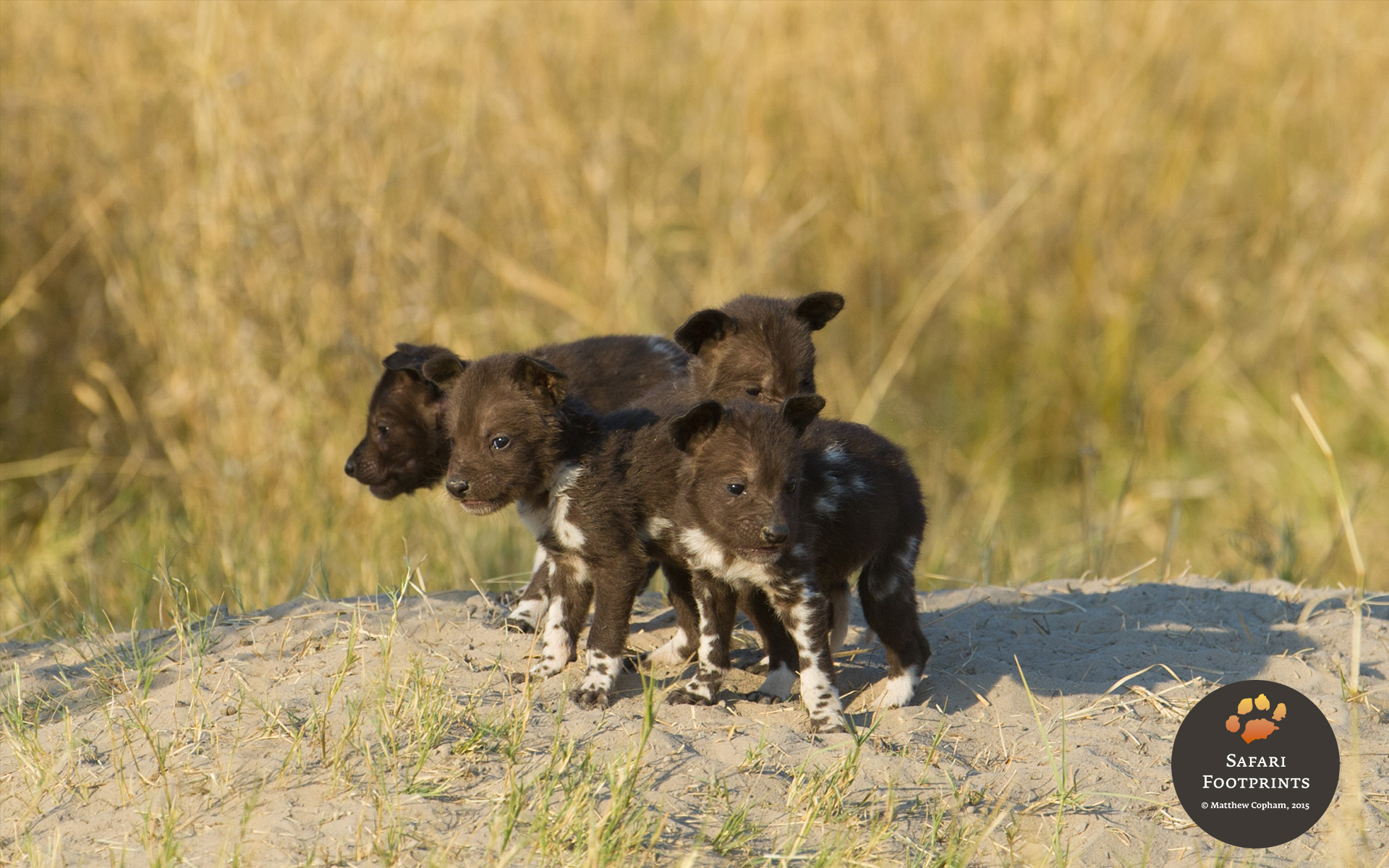 Wild dog puppies spotted at Chitabe