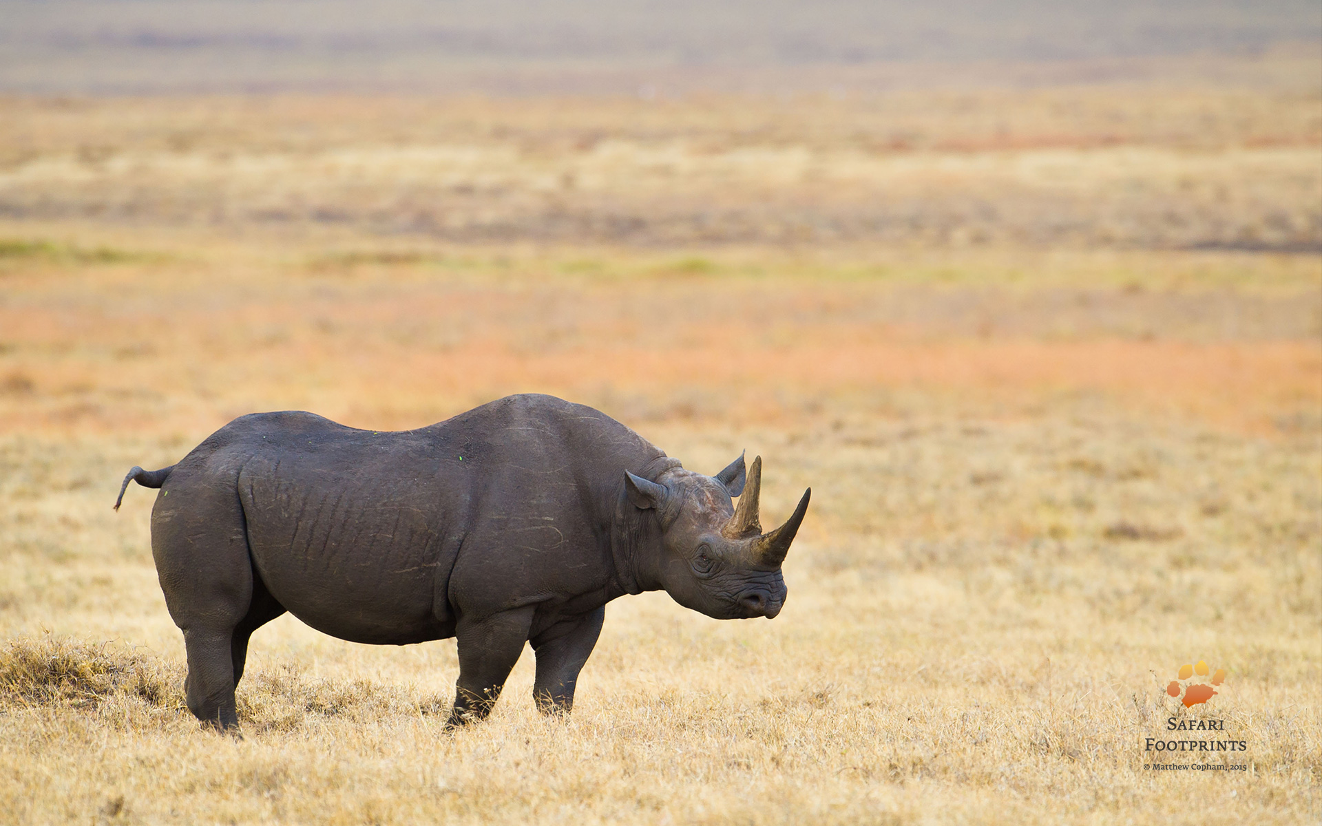 Black rhino at Ngorongoro