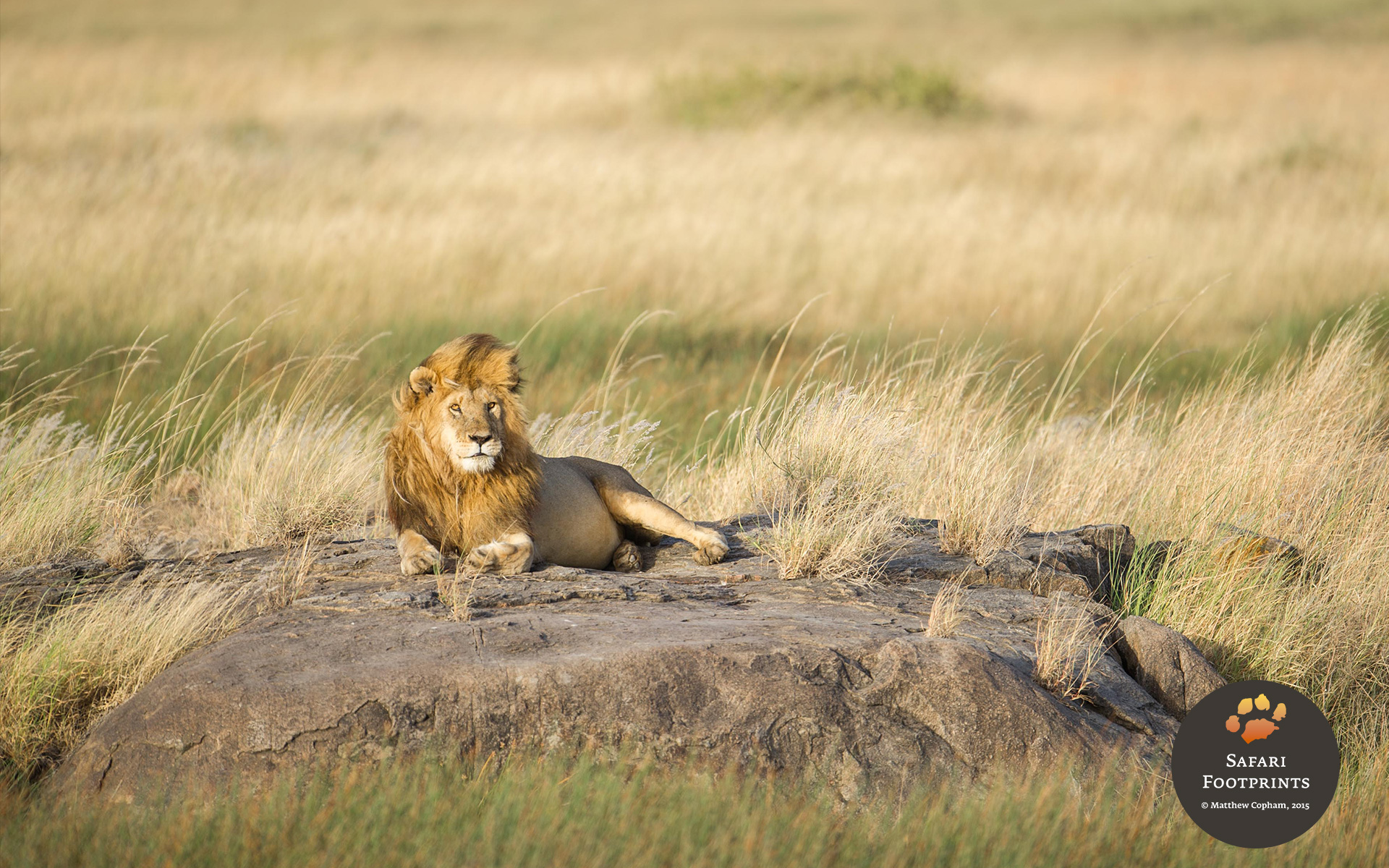 A male lion in the Serengeti National Park